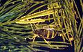 Acentria ephemerella f.jpg