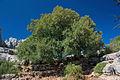 Acer monspessulanum Torcal.jpg