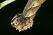 Acherontia-Kadavoor-2016-06-23-002.jpg