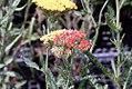 Achillea millefolium Fireland 0zz.jpg