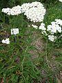 Achillea pannonica 044.JPG