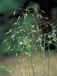 Achnatherum hymenoides