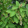 Achyranthes mutica (4742575407).jpg
