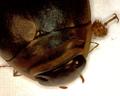 Acilius fraternus 1.png