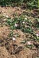 Ackerwinde (Convolvulus arvensis) - Flickr - blumenbiene.jpg
