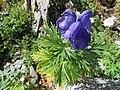 Aconitum napellus leaf (07).jpg