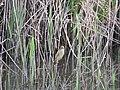 Acrocephalus australis (23965001698).jpg