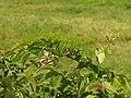 Acrocephalus bistrigiceps.jpg