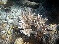 Acropora echinata Maldives.JPG