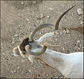 Addax-Jerusalem-Biblical-Zoo-IZE-557.jpg