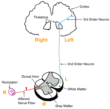 nociception and pain perception a literature Nociception, pain, negative moods, and behavior selection  brain plays a critical role in bridging nociception and pain perception, as well as in the transition .
