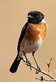 African Stonechat, Saxicola torquatus -- male -- at Rietvlei Nature Reserve, South Africa (14733755026).jpg