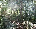 Afrotemperate indigenous woodland at Newlands Cape Town 2.jpg