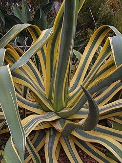 Resultado de imagen de agave americana FRUTO