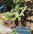 Agave wercklei - Marie Selby Botanical Gardens - Sarasota, Florida - DSC01282.jpg