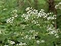 Ageratina altissima SCA-5474.jpg