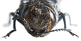 Agrilus ater front.JPG