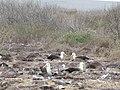 Albatross birds - Espanola - Hood - Galapagos Islands - Ecuador (4871707392).jpg
