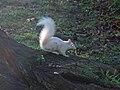 Albino Squirrel 1.jpg