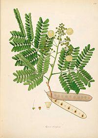 Albizia odoratissima02.jpg