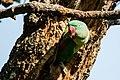 Alexandrine parakeet (Psittacula eupatria) 03.jpg