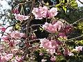 Alishan Sakura 阿里山樱花 - panoramio.jpg