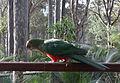 Alisterus scapularis -Narooma -Australia -female-8.jpg
