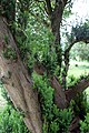 All Saints Church, Nazeing, Essex, England ~ churchyard east sprouting yew 01.JPG