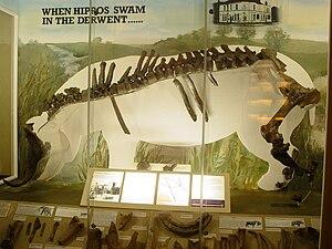 Allenton hippopotamus - Image: Allenton Hippo display at Derby Museum