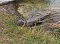 Alligator at Paurotis Pond^ - panoramio.jpg