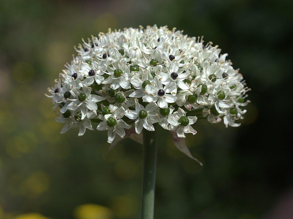 Allium nigrum GotBot 2015 003