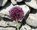 Allium scorodoprasum inflorescence (19).jpg