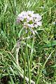 Allium trifoliatum pm.jpg