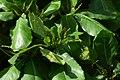 Almendro (Terminalia catappa) (14603330188).jpg