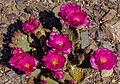 Along Hwy. 374 into Death Valley National Monument , California - spectacular early cactus blooms - (26760725810).jpg