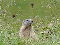 Alpenmurmeltier, Marmota marmota 11.JPG