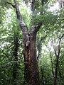 Alter Bergahorn Baum 2 Grades.jpg