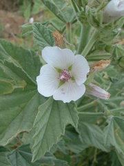Althaea officinalis01.jpg