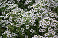 Alyssum white color at lalbagh7322.JPG