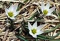 Amana edulis Amana in Ibukiyama 2003-3-30.jpg