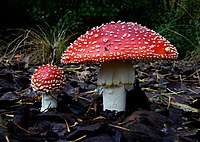 L'amanite tue-mouches (Amanita muscaria).