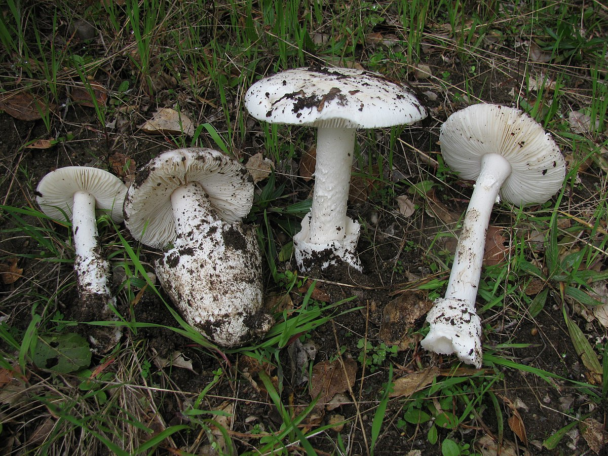 Description de l'image Amanita ocreata 79782.jpg.