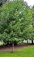 Amaptocare, Oak.jpg
