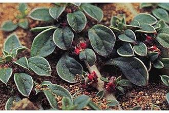 Amaranthus californicus - Image: Amaranthuscalifornic us