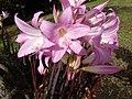 Amaryllis belladonna - O Monticaño.jpg
