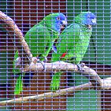 Amazona arausiaca -Roseau -Dominica -aviary-6a-4c.jpg