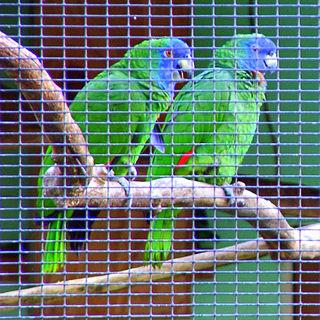 Red-necked amazon species of bird