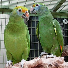 Amazona dufresniana -two captive-8a-2c.jpg