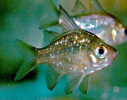 235bd911a5c Macleay s glassfish is a moderately large ambassid that may grow to a  standard length (SL) of 77 mm (3.0 in)