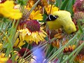 American Goldfinch male 2 (168887519).jpg